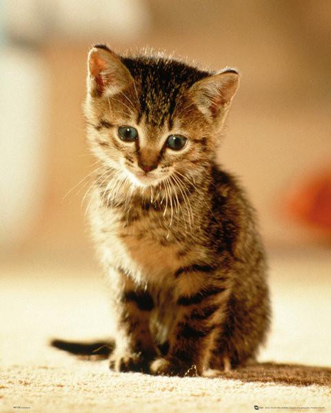 Poster Kätzchen - Sitting
