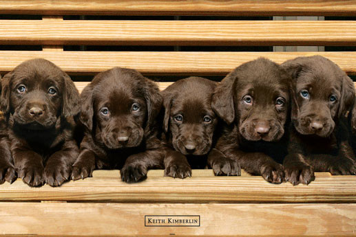 Poster Keith Kimberlin - chocolate labradors