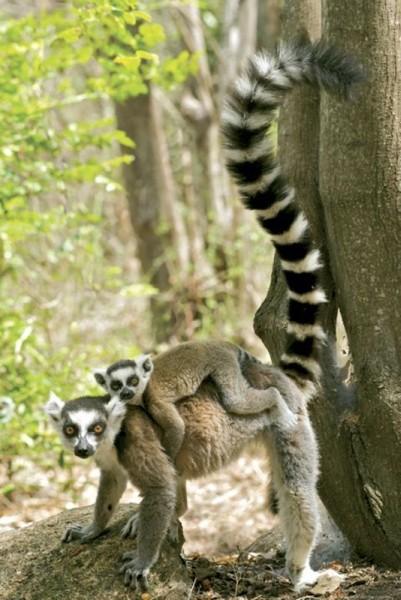 Poster Lemurer