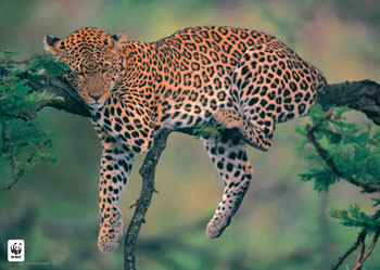 Poster Leopard WWF - sleeping