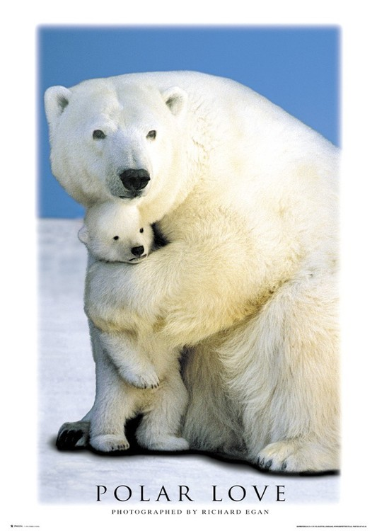 Poster Polar love – bears