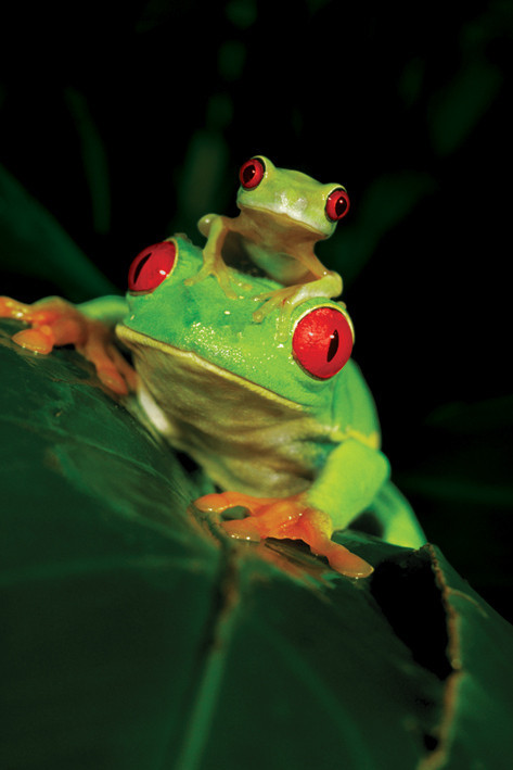 Poster Red eyed three frog