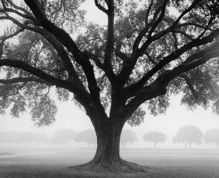 Silhouette Oak Kunstdruck
