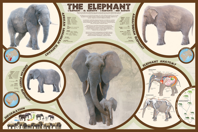 Poster The elephant