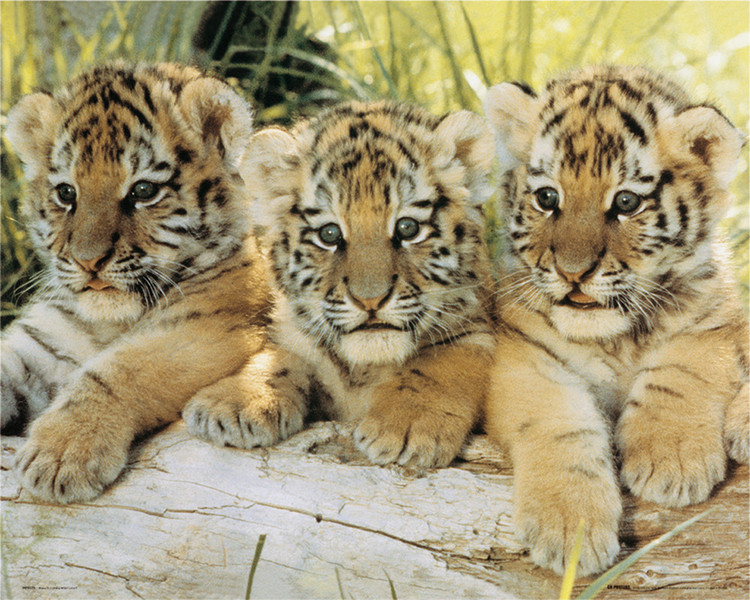 Poster Tiger cubs