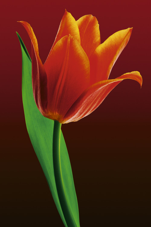 Tulip on red Poster