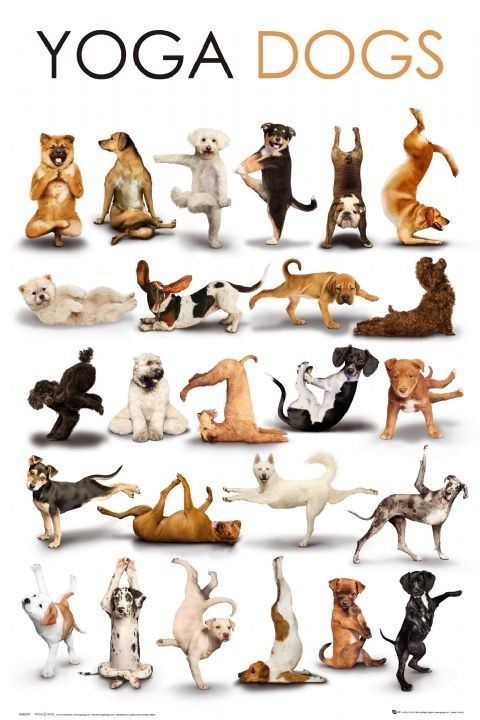 Poster Yoga dogs
