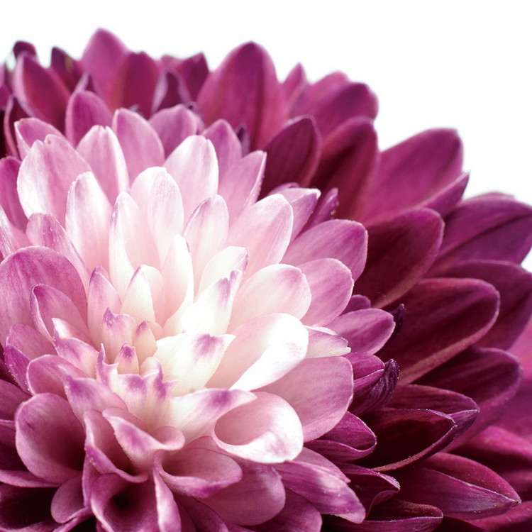 Flowers - Purple Gerbera Print på glas