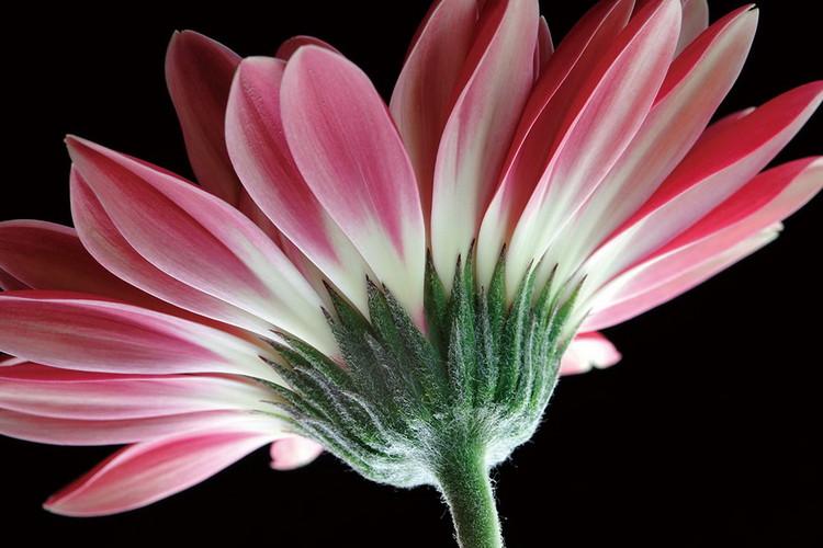 Gerbera - Pink Print på glas