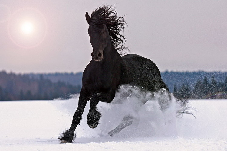 Horse - Black Horse in the Snow Print på glas