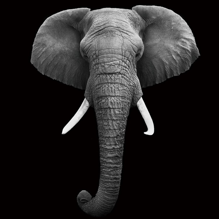 Quadri in vetro Elephant - Head b&w