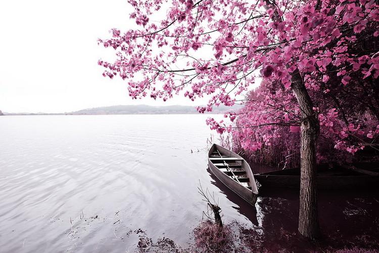 Quadri in vetro Pink World - Blossom Tree with Boat 1