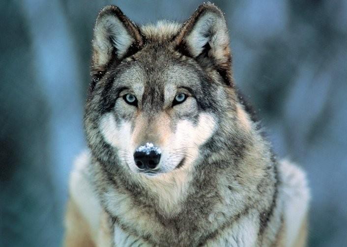 Grey Wolf - vlk šedý rámovaný plakát