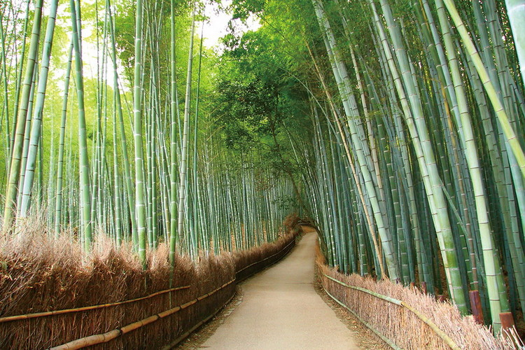 Skleněný Obraz Bambusový les - Cesta