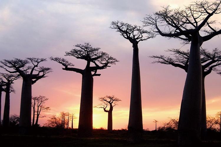 Skleněný Obraz Baobaby při západu slunce