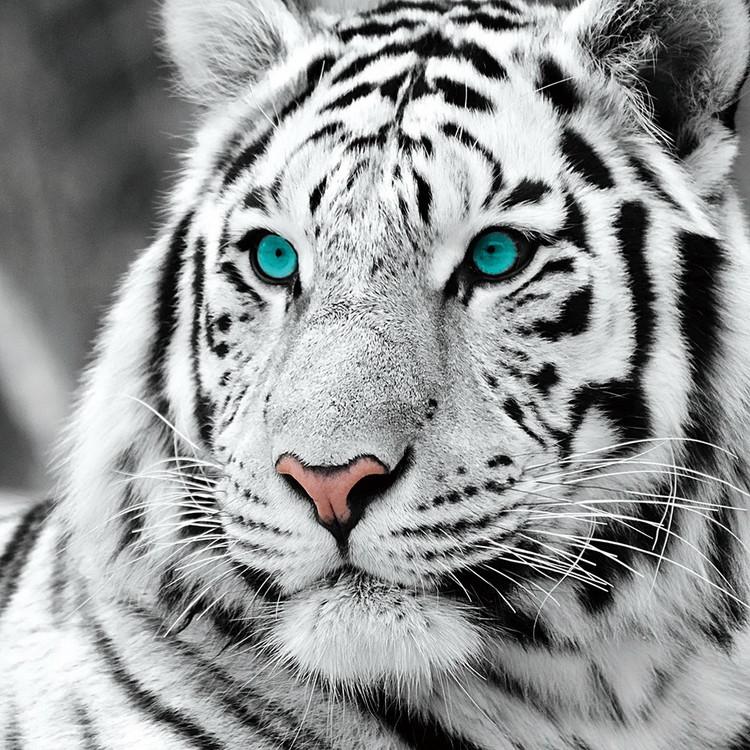 Skleněný Obraz Bílý tygr - Modré oči