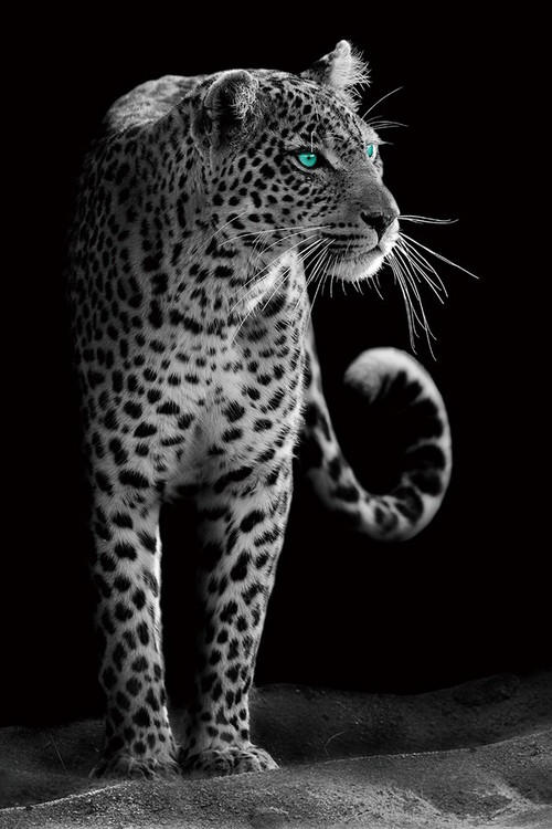 Obraz Gepard - Black and White