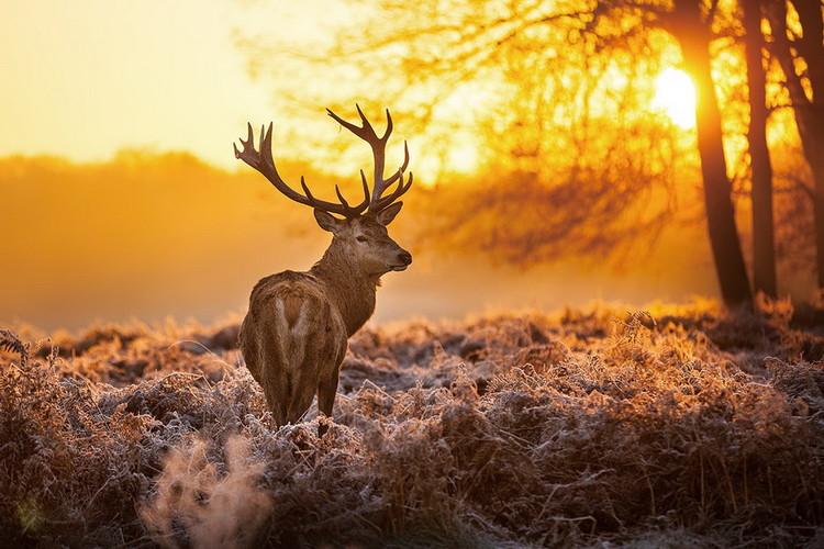 Skleněný Obraz Jelen ve slunném lese