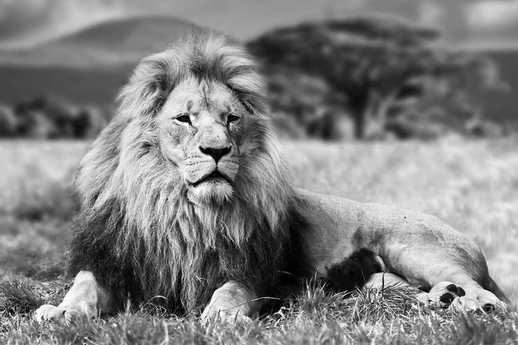 Obraz Lion - Lying b&w