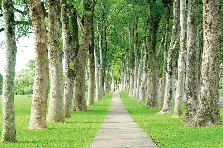 Skleněný Obraz Stromy - Lemovaná cesta