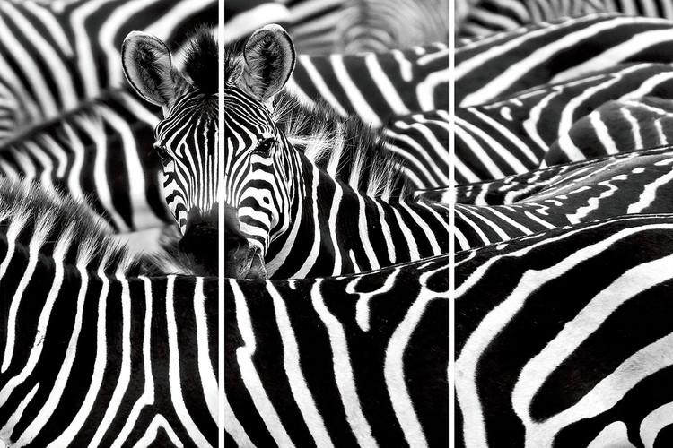 Skleněný Obraz  Zebra - Mnoho zeber