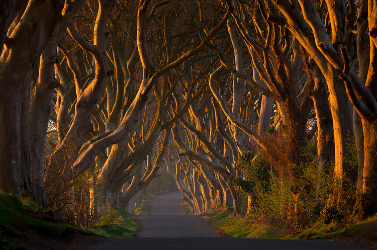 Stampa su Tela The Dark Hedges in the Morning Sunshine