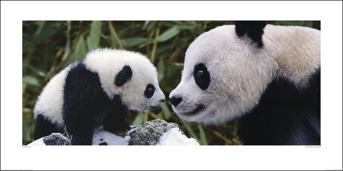 Stampe d'arte Panda - Steve Bloom