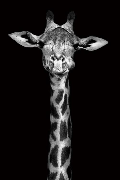Szklany obraz Giraffe - Head b&w