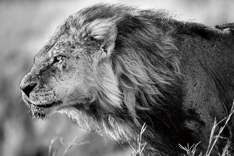 Szklany obraz Lion - Black and White Lion