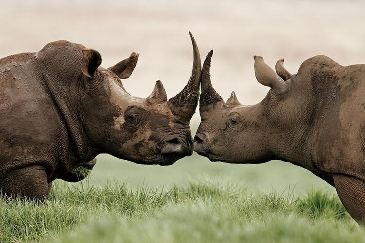 Szklany obraz Rhino - Love