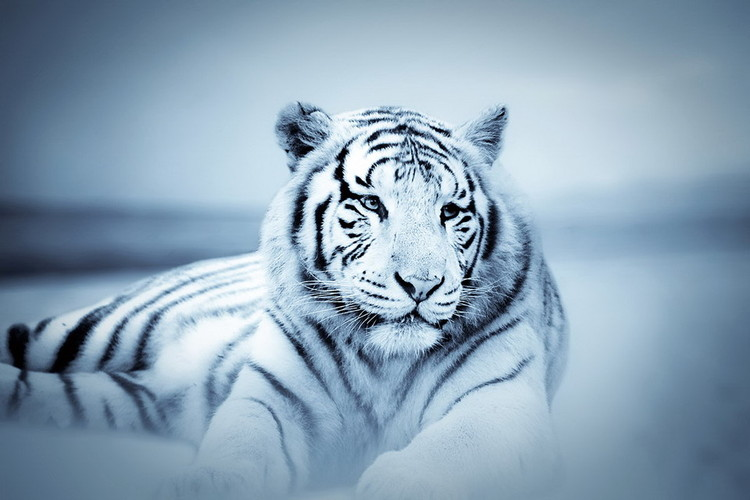 Szklany obraz Tiger - White Tiger