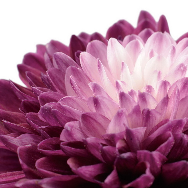 Tableau sur verre Flowers - Purple Gerbera