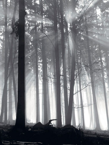 Forest Dawn  Reproduction d'art