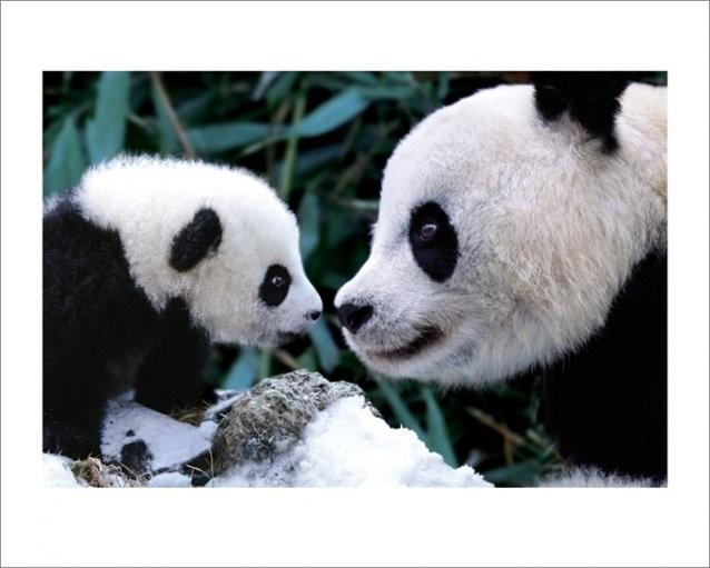 Panda - Steve Bloom Reproduction d'art