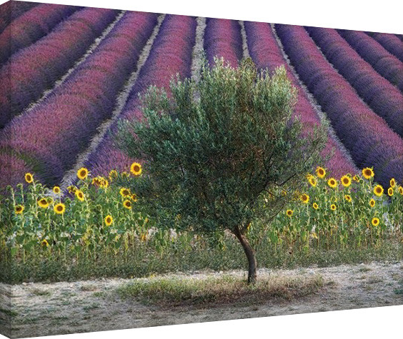 Tablou Canvas David Clapp - Olive Tree in Provence, France