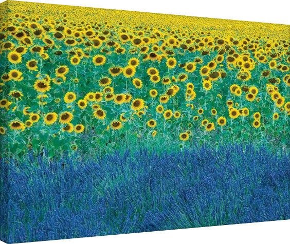 David Clapp - Sunflowers in Provence, France Tablou Canvas