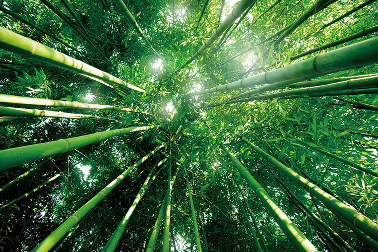 Tablouri pe sticla Bamboo Forest