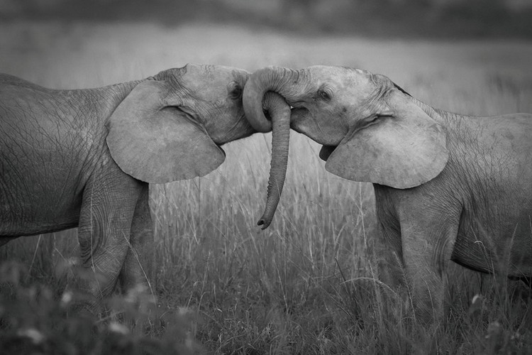 Tablouri pe sticla Elephants - Love