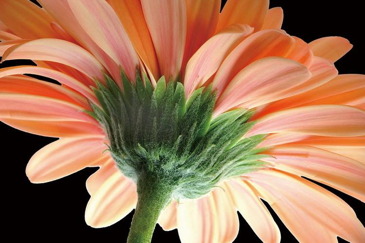 Tablouri pe sticla Gerbera - Orange