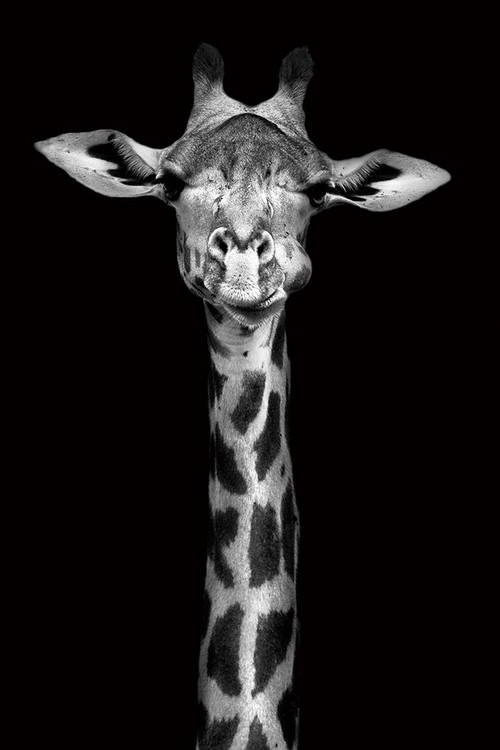 Tablouri pe sticla Giraffe - Head b&w