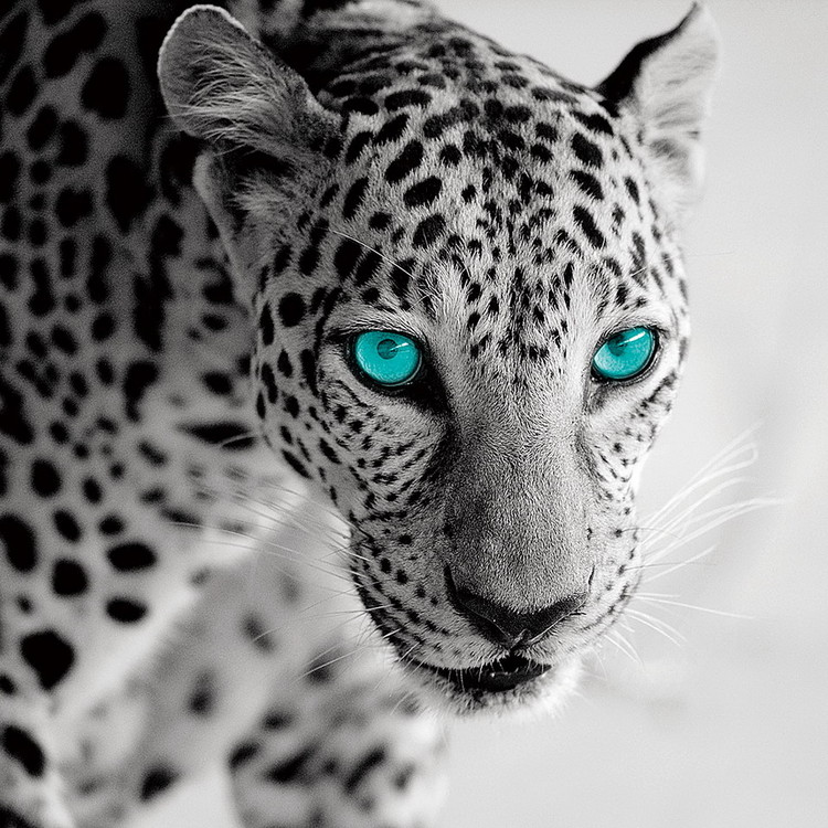 Tablouri pe sticla Leopard b&w