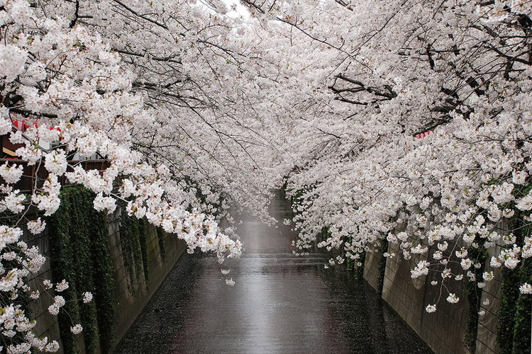Tablouri pe sticla Path - White Blossoms
