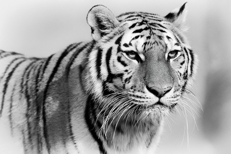 Tablouri pe sticla Tiger - Walking b&w
