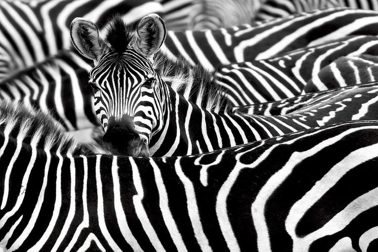 Tablouri pe sticla Zebra - Many Zebras