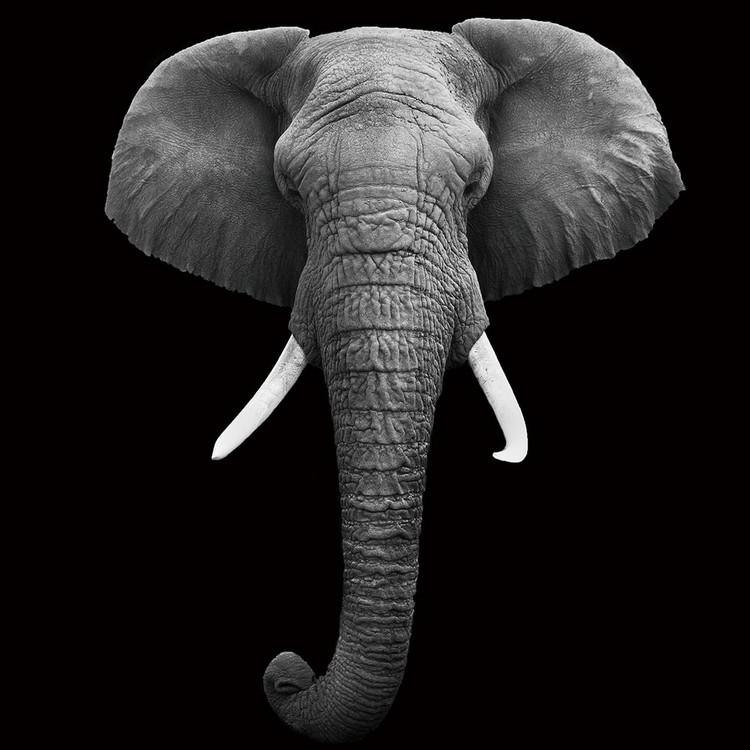 Üvegkép Elephant - Head b&w