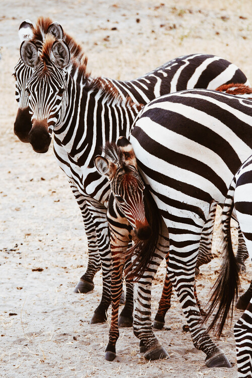 Umjetnička fotografija Little zebra