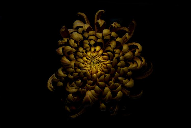 xудожня фотографія Chrysanthemum