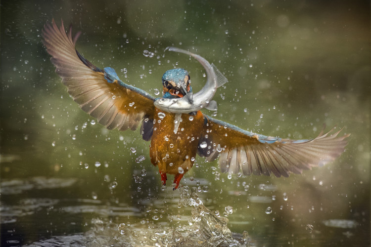 xудожня фотографія Kingfisher